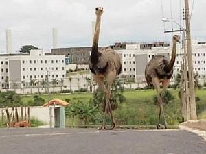 Os animais caminharam tranquilamente pelas ruas (Foto: reprodução/TV Integração)