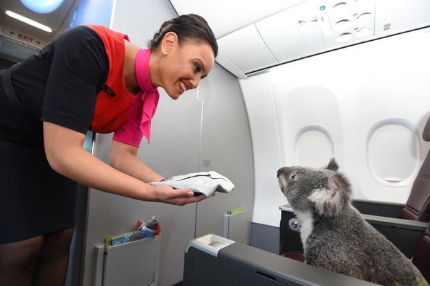 Os coalas ficarão emprestados por seis meses para um zoológico em Cingapura (Foto: Qantas/Divulgação)