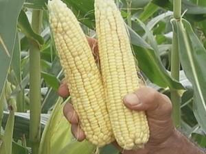 Festa deve consumir cerca de 40 toneladas de milho neste ano  (Foto: reprodução/ TV TEM)