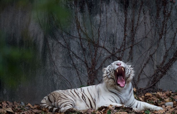 Tigre siberiano foi fotografado bocejando em seu recinto no zoológico de Xangai, na China (Foto: Johannes Eisele/AFP)