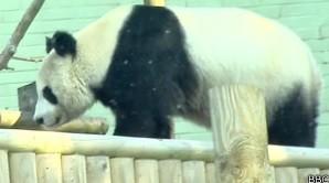 Panda em zoo de Edimburgo (Foto: BBC)