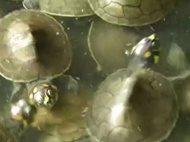 Milhares de filhotes de tartaruga ameaçada de extinção são soltos na Amazônia peruana (Foto: Reprodução/BBC)
