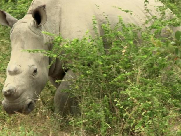 Fertilização in vitro pode ser 'única esperança' do rinoceronte branco (Foto: Reprodução/BBC)