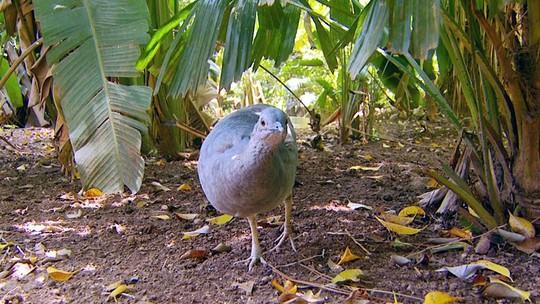 Jaó tem nome associado ao canto e macho cuida do ninho e da criação dos filhotes