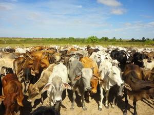 Criação de gado na Raposa Serra do Sol abrange os três municípios: Pacaraima, Normandia e Uiramutã. (Foto: Victor Mattioni)