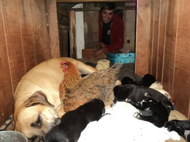 Mãe dos cachorrinhos e galinha dividem o mesmo espaço (Foto: Belmiro Lazzarotto/Arquivo pessoal)