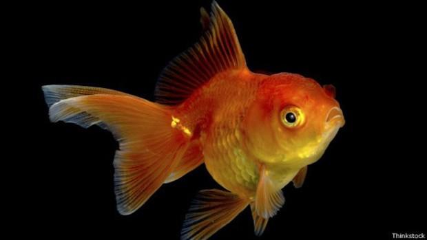 Cientistas estimam que peixinho dourado consiga manter a atenção por nove segundos; pesquisadores afirmam que nossa atenção hoje é mantida por oito (Foto: BBC)