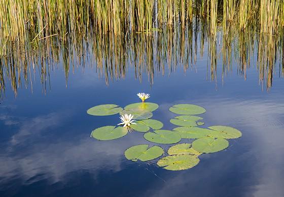 Flores de lótus e papiros nas margens de um dos canais do Okavango (Foto: © Haroldo Castro/ÉPOCA)