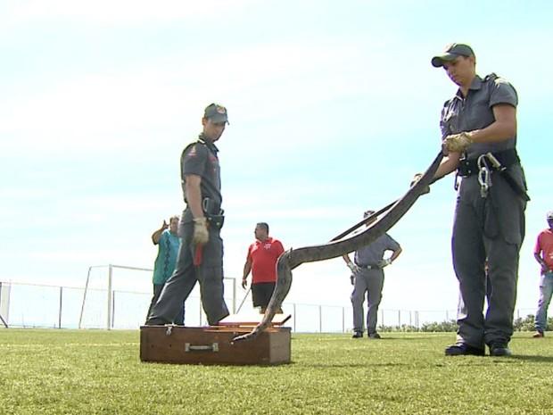 A cobra foi achada no centro de treinamento durante exercícios da equipe sub-20 (Foto: Reprodução/EPTV)