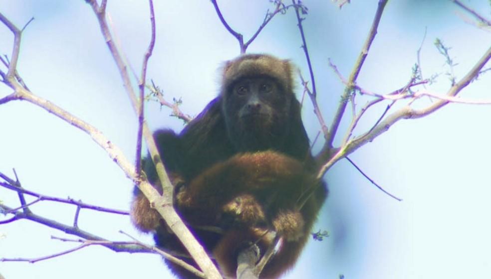 Primatas são as principais vítimas da febre amarela (Foto: Arquivo TG)