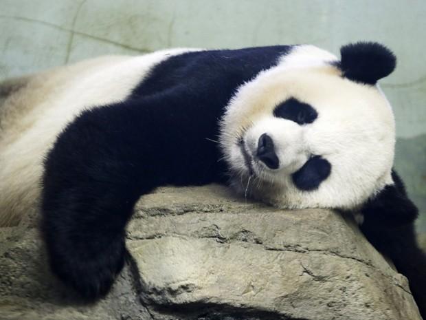 Mei Xiang dorme em seu recinto no Zoológico Nacional de Washington, em foto de 12 de agosto (Foto: AP Photo/Jacquelyn Martin)