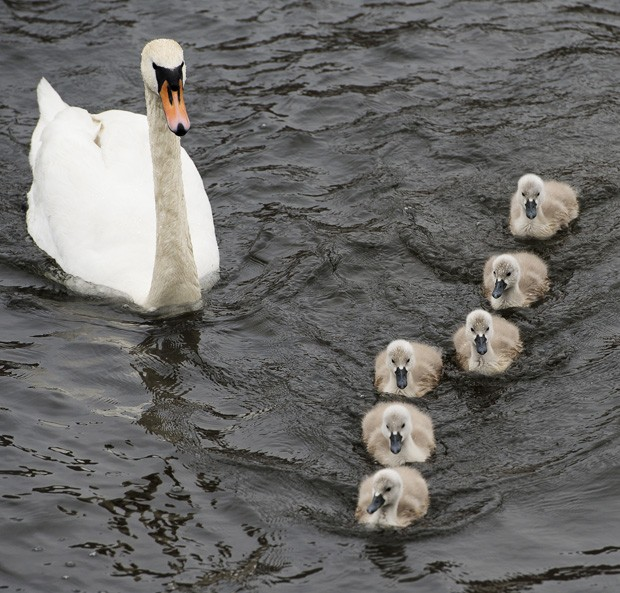 'Mamãe cisne' observou filha de filhotes em lago em Estolcomo, na Suécia (Foto: Jonathan Nackstrand/AFP)