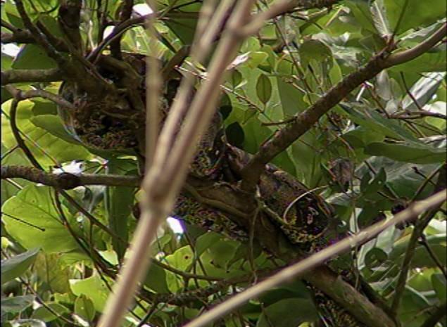 A cobra foi encontrada enrolada num galho de árvore e só foi percebida pelos moradores quando se movimentou entre as folhas (Foto: Reprodução/TV Liberal)