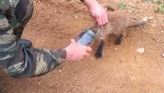 Homem ajuda raposa que estava com pote preso à cabeça (Foto: Reprodução/YouTube/VideoPrikol)