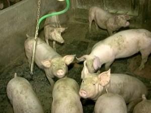 Região é a maior produtora de carne suína. (Foto: Reprodução/TV Gazeta)