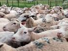 Quilo de carne ovina custa, em média, R$ R$ 7,27 em Rondônia