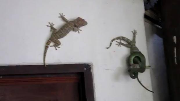 Lagartixa foi flagrada tentando salvar amigo que havia sido capturado por cobra. (Foto: Reprodução/YouTube)