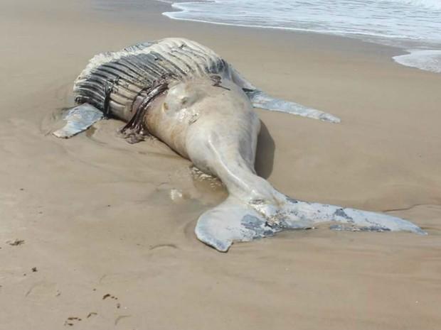 Baleia encontrada morta no litoral norte de Ilhéus, na Bahia (Foto: Winnie Santos Silva)
