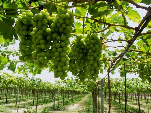 Estudos feitos pela Ufersa comprovam potencial para cultivo de uvas e outras frutas no sistema de irrigação (Foto: Divulgação/Agência Sebrae)