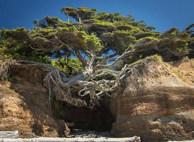 Esta árvore está situada no Olympic National Park, em Washington, EUA (Foto: Reprodução)