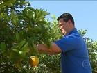 Produtores de laranja de SP estão confiantes na recuperação do setor