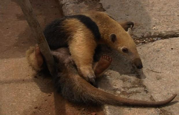 Animal foi encontrado quando donos de uma empresa chegavam para trabalhar, em Goiás (Fot Reprodução/TV Anhanguera)