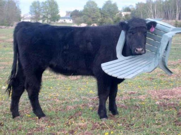 Bombeiros foram chamados após vaca ficar com cabeça presa em cadeira plástica (Foto: Reprodução/Twitter/Northants Fire)