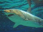 Tubarão branco de 3,5 m morre após apenas três dias de cativeiro no Japão