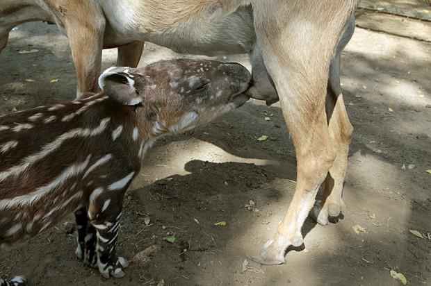 Anta é amamentada por cabra em zoológico na Nicarágua (Foto: Oswaldo Rivas/Reuters)