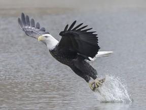 Águia é fotografada em posição 'majestosa' após capturar peixe
