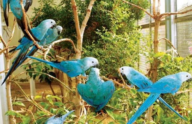 Há apenas 79 ararinhas-azuis hoje no mundo (Foto: Divulgação/Al Wabra Wildlife Preservation)