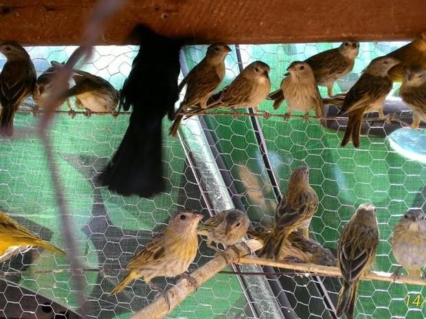Canários e pássaros pretos eram mantidos em cativeiro (Foto: PM/Divulgação)