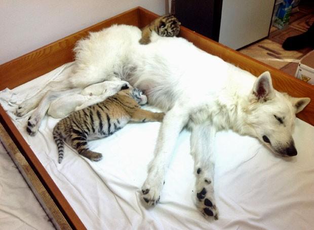 Cadela Talli alimenta os pequenos felinos abandonados (Foto: AP)