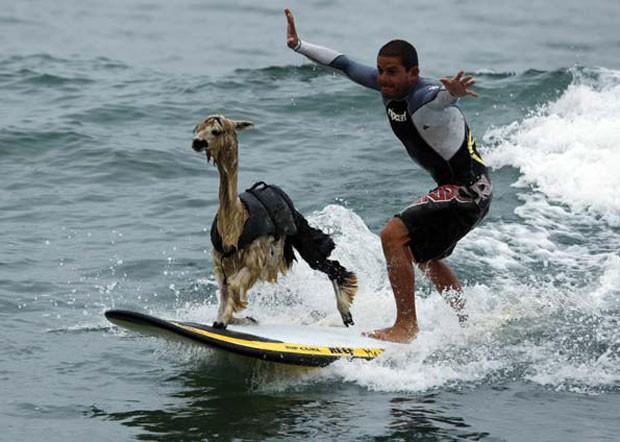 Peruano Domingo Pianezzi ensinou sua alpaca de estimação chamada 'Pisco' a surfar (Foto: Pilar Olivares/Reuters)