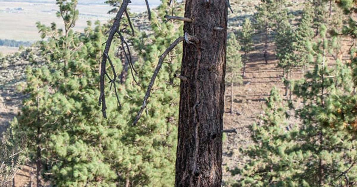 Fotógrafo flagra momento em que urso sobe em árvore para fugir de cão
