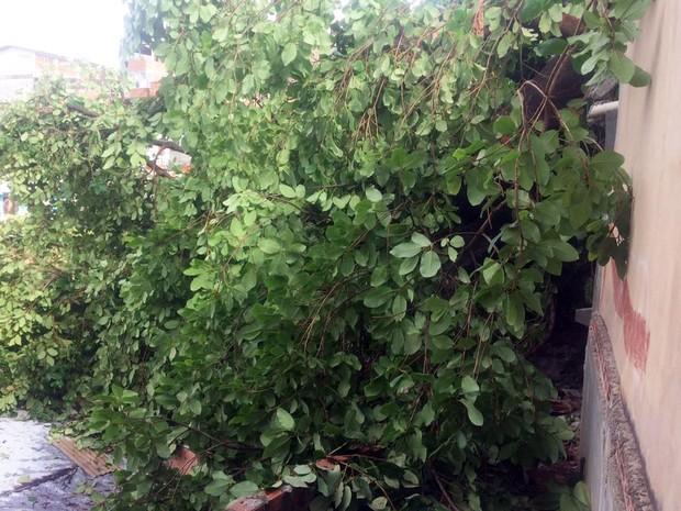 Não há informações confirmadas sobre o que pode ter provocado a queda da árvore (Foto: Juliana Almirante/G1)