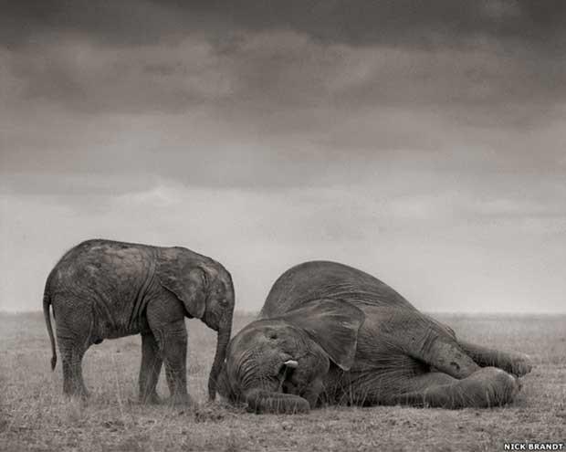 'Pela Terra Devastada' é o ponto alto de dez anos de trabalho e foi publicado depois dos outros dois trabalhos de Brandt, 'Nesta Terra' e 'Uma Sombra Cai'. Acima: Dois elefantes em Amboseli (Foto: © Nick Brandt)