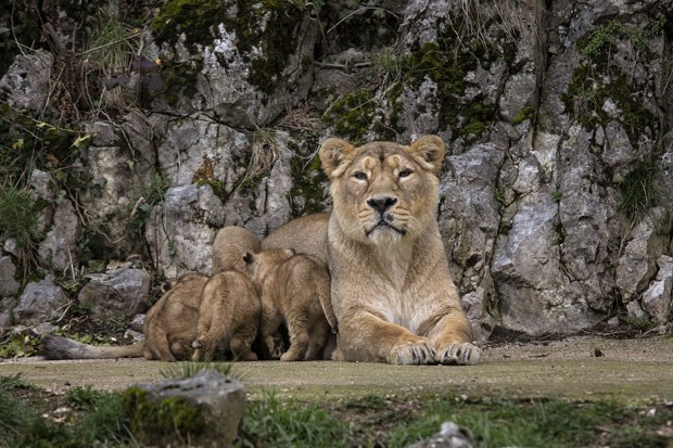 Os leões asiáticos são uma das espécies mais raras do mundo, segundo a WWF (Fot AP Photo/Laurent Cipriani )