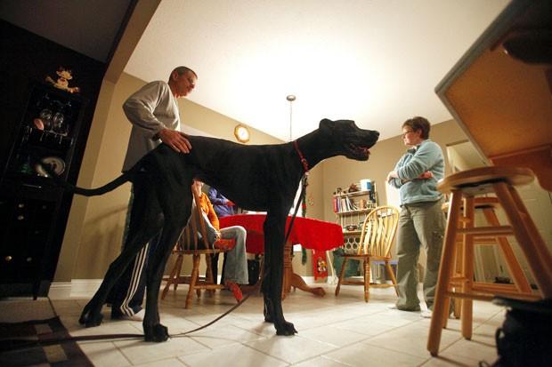 Zeus, considerado o cão mais alto do mundo, morreu nos EUA (Foto: Jonathon Gruenke/Kalamazoo Gazette-MLive Media Group,/AP)