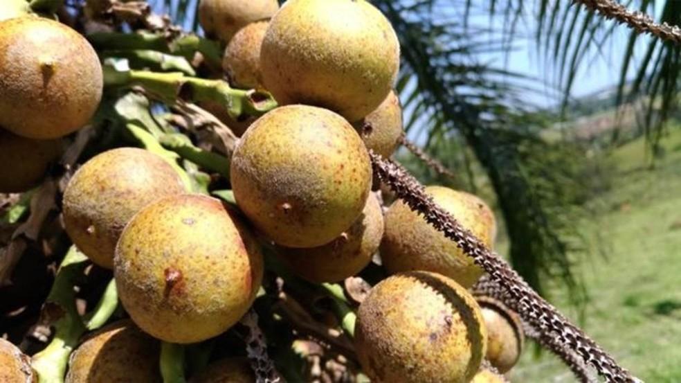 A macaúba é uma palmeira nativa da Mata Atlântica com produtividade na fabricação de biocombústivel  (Foto: Divulgação)
