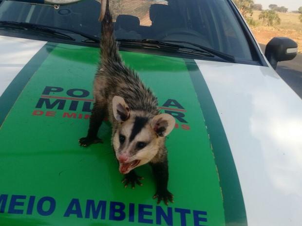 gambá uberlândia (Foto: Polícia Militar Ambiental/Divulgação)