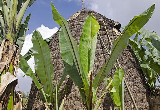 As cabanas do povo Dorze podem atingir 10 metros de altura e são sempre rodeadas com plantas de ensete (Foto: Haroldo Castro/ÉPOCA)