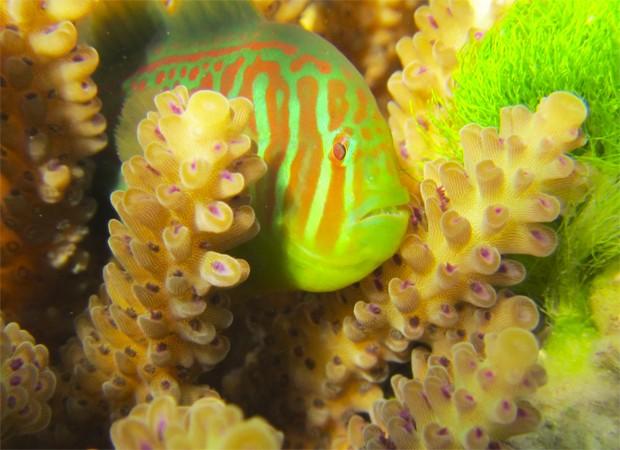 Peixe da espécie 'Gobiodon histro' se aproxima de alga tóxica em região de corais (Foto: Divulgação/Danielle Dixson/'Science')