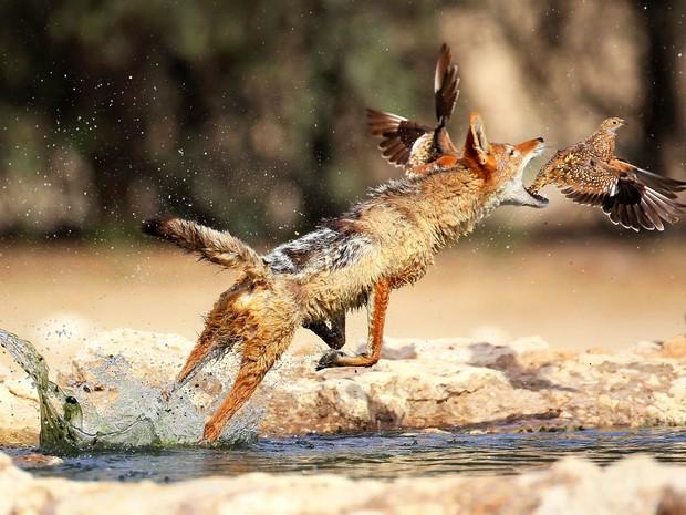 Imagem feita no Parque Nacional Kgalagadi, na África do Sul, mostra um chacal solitário no momento em que tenta abocanhar um pássaro para fazer um 'lanche rápido'. O salto foi bem sucedido e o animal conquistou seu aperitivo matutino. (Foto: Solnet/The Grosby Group)