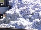 Má distribuição da chuva prejudica produtividade do algodão na BA