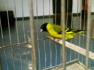Apreensão pássaros em Araxá (Foto: Divulgação/ PM)
