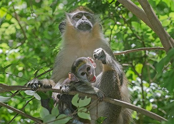 Dois macacos-verdes em uma árvore, em Barbados  (Foto: © Haroldo Castro/Época)
