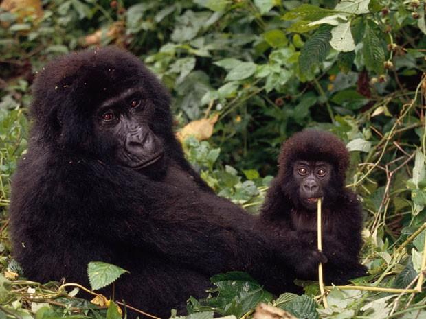 Uma fêmea de gorila-da-montanha com seu filhote. População de primatas desta espécie aumentou, aponta censo (Foto: Divulgação/Martin Harvey/WWF)