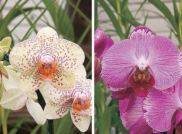 orquídea (Foto: Casa e Jardim)