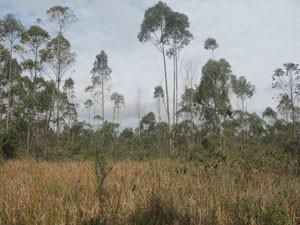 Eucaliptos são comuns em terrenos da região (Foto: Márcio Pinho/G1)